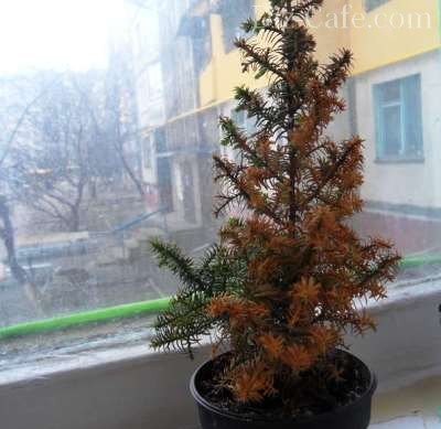 Маленькие елочки в горшках. Канадская ель. Уход за Новогодней елкой в горшке