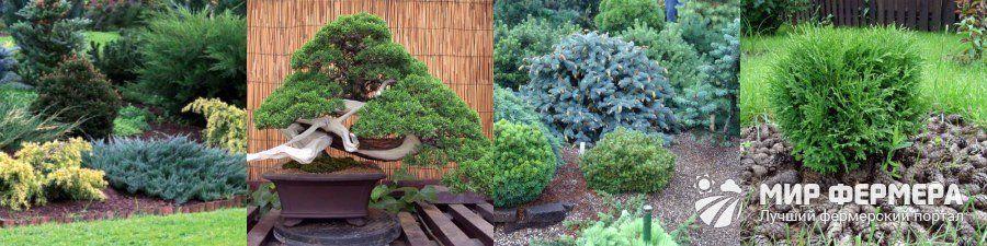 Особенности хвойных растений