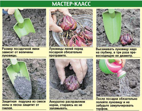Как сажать лилии луковицами в горшок 66