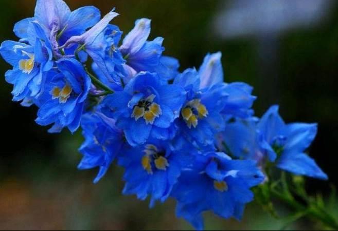 Многолетники для сада цветущие. Маленькие синие цветочки название