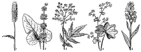 Livadi biljke na Lijepe i