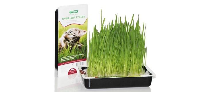 Кошачья трава как выбрать и вырастить в домашних условиях